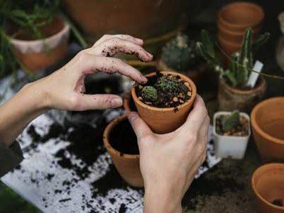 Chia sẻ cách trồng sen đá ra hoa mà không phải ai cũng biết
